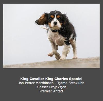 Høst 2013 - Tittel: King Cavalier King Charles Spaniel